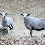 sheep at mountain valley nevada county